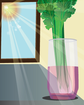 Celery1-V2
